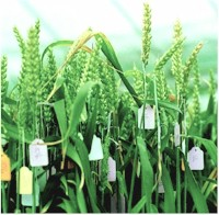 GM Crops and Food section